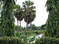Palm tree1.JPG