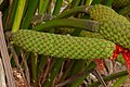 Palma Iraca (Carludovica palmata) - Flickr - Alejandro Bayer (3).jpg