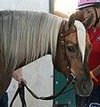 Palomino Quarter Horse Stallion (2572229656).jpg