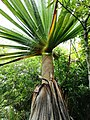 Pandanus heterocarpus - Grande Montagne NR 3.jpg
