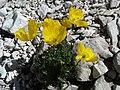 Papaver alpinum 1 MHNT.jpg