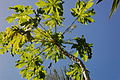 Papaya plant from below.JPG