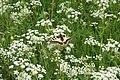 Papilio machaon, Labergement - img 10226.jpg