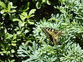 Papilio machaon laying eggs on Ruta chalepensis.jpg