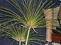 Papyrus - panoramio.jpg