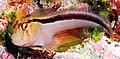 Parablennius laticlavius (Crested blenny).jpg