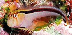 Parablennius laticlavius (Crested blenny).jpg