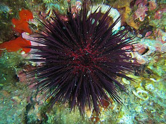 Paracentrotus lividus - Image: Paracentrotus lividus Banyuls