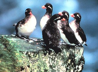 Parakeet auklet - The parakeet auklet is highly social in its breeding colonies.
