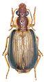 Paraphaea minor - ZooKeys-284-001-g001-3.jpeg