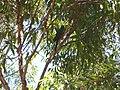Parrot on tree.jpg