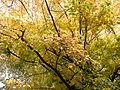 Parrotia persica (26).JPG