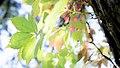 Parthenocissus quinquefolia (21996488766).jpg