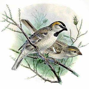 Saxaul sparrow - An illustration of a pair by Henry Eeles Dresser