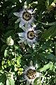 Passiebloem bloemen.jpg