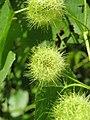Passiflora foetida at Mayyil (1).jpg