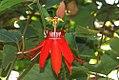 Passiflora vitifolia Bracteosa 0zz.jpg