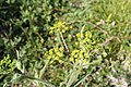 Pastinaca sativa subsp. urens inflorescence (07).jpg