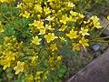 Patrinia scabiosifolia - Koko-en 01.jpg