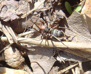 <i>Micaria</i> Genus of spiders