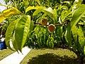 Peach tree 2.jpg