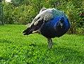 Peacock (27354954634).jpg