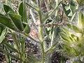 Pediomelum esculentum (Psoralea esculenta) (4015382161).jpg
