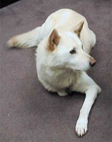 White dog laying on floor pictured from above. one leg extended on front. Ears pricked and slightly colored as is the tail. Long straight nose. Medium length hair.