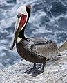 Pelican (49606651787).jpg