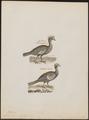 Penelope cumanensis - 1782-1825 - Print - Iconographia Zoologica - Special Collections University of Amsterdam - UBA01 IZ16900135.tif