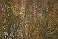 PermaLiv Høstbjørk med høstfarger i Totenvika 29-10-20 5.jpg