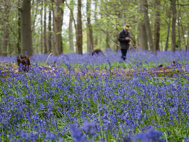 File:Person in bluebell wood (14099117974).jpg