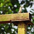 Petronia xanthocollis,yellow-throated sparrow 2.jpg