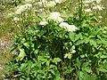 Peucedanum ostruthium001.jpg