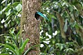 Pharomachrus mocinno Monteverde 20.jpg