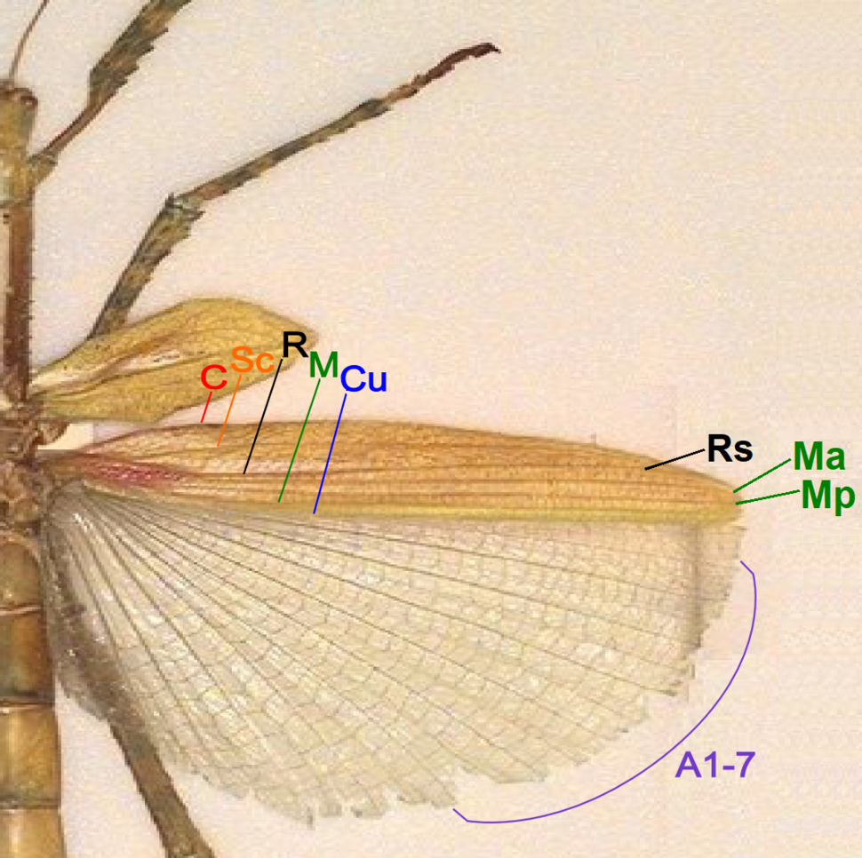 Phasmid wing structure