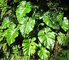 Philodendron giganteum01.jpg
