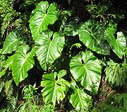 180px-Philodendron_giganteum01