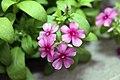 Phlox Astoria Cherry Blossom 1zz.jpg