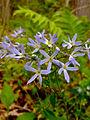 Phlox divaricata - Wild Blue Phlox.jpg
