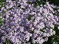 Phlox subulata - many flowers.jpg
