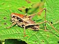 Pholidoptera griseoaptera (Dark bush-cricket) male, Arnhem, the Netherlands.jpg