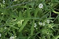 Pholistoma membranaceum 7845.JPG