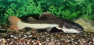 Redtail catfish Species of fish