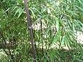 Phyllostachys nigra 1zz.jpg