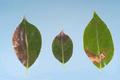 Phythophthora ramorum UGA5202007.png