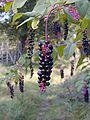 Phytolacca-americana-berries.JPG