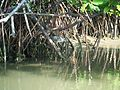 Pichavaram Striated Heron in mangrove.jpg