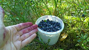 Picking natural blackberries in Finland