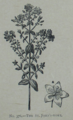 Picture Natural History - No 376 - The St Johns-wort.png